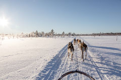 Dog Sledding in Lapland royalty free stock images