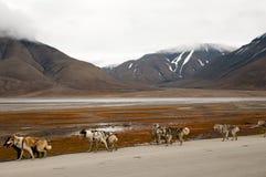 Dog Sledding - Longyearbyen - Svalbard. Dog Sledding in Longyearbyen - Svalbard Stock Image