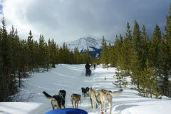 Dog sledding in Montana Stock Image