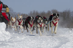 Dog sledding race Stock Photography