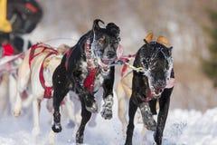 Dog sledding race Royalty Free Stock Photography