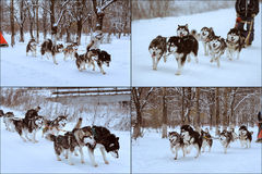 Dog sledding race Royalty Free Stock Images