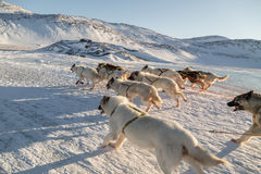 Dog sledding - side view of fast running Greenland dogs across f royalty free stock images