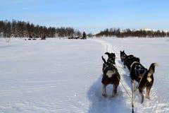 Dog Sledding on snow. Dog sledding from driver`s perspective. Dog sledding at Norway royalty free stock photos