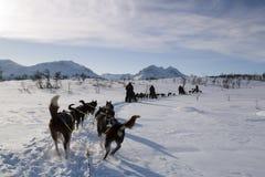 Dog Sledding on snow. Dog sledding from driver`s perspective. Dog sledding at Norway stock photography
