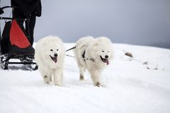 Sledding with spitz dogs in Romania. Dog-sledding with spitz dogs in the wild Stock Images