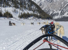 Dog Sledding Teams Stock Photo