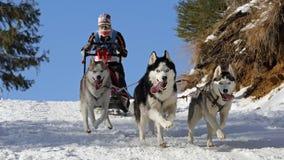 Free Dog Sledding Winter Race, Zuberec, Slovakia Royalty Free Stock Image - 173349866