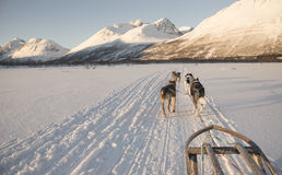Dog sledding. A winter sport in the snow Royalty Free Stock Images
