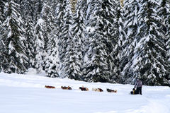 Dog sledding in the wood - Dolomiti Stock Photography
