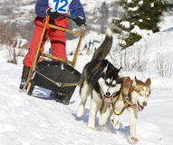 Dog sledge. Dog sledding race with huskies Royalty Free Stock Photography