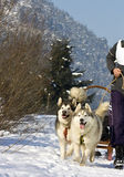 Dog sledge. Dog sledding race with huskies Royalty Free Stock Image