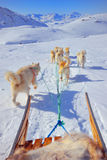 Dog sledging. In spring time in greenland Stock Photography