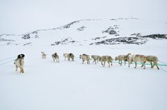 Dog sledging trip. Cold snowy winter, running dogs, Kulusuk village, Greenland Stock Image