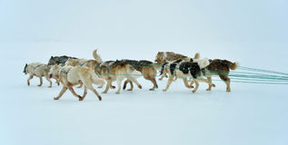 Dog sledging trip. Cold snowy winter, running dogs, Kulusuk village, Greenland Stock Images