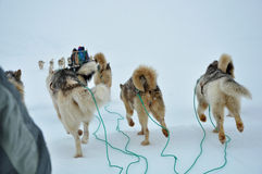 Dog sledging trip, running dog. Cold snowy winter, running dog, Kulusuk village, Greenland Royalty Free Stock Images
