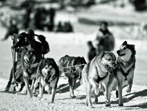 Dog sledging in Winter. Black and white scenic view of person dog sledging in Wintry landscape Royalty Free Stock Image