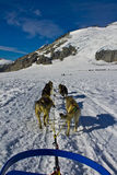Dog sleding. Dog power has been used for hunting and travel for over a thousand years. As far back as the 10th century these dogs have contributed to human Royalty Free Stock Photo