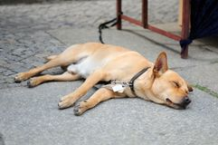 Dog sleep Royalty Free Stock Image