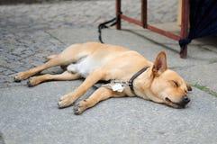 Dog sleep Royalty Free Stock Image