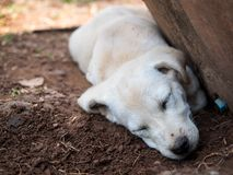 Dog sleep. Stock Images