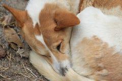 Dog sleep face Stock Image
