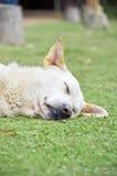 Dog sleep on grass field. Image Stock Photography