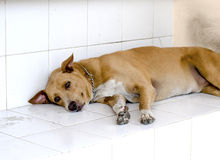 Dog sleep at house Royalty Free Stock Images