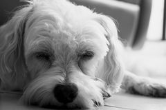 Dog sleep. Maltese dog sleeping in the comfort of your home Stock Photo