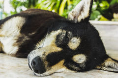 Dog sleep in the morning. Dog sleeping unawares Songkhla, Thailand Royalty Free Stock Image