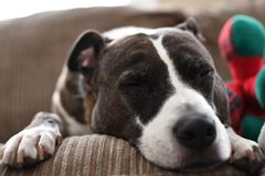 The dog sleep on the sofa. Feel tired after running Stock Photography