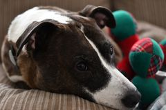 The dog sleep on the sofa. Feel tired after running in Christmas day Stock Photo