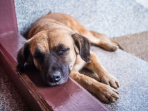 Dog sleep. In temple photisompron Royalty Free Stock Photos