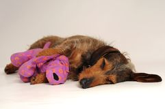 Dog sleeping Stock Image
