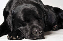 Dog sleeping Royalty Free Stock Photos