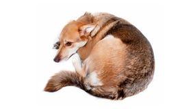 Dog sleeping Royalty Free Stock Photography