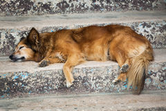 Dog sleeping Royalty Free Stock Photo