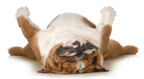 Dog sleeping Stock Images