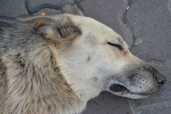 Dog. Sleeping dog animals pets dream Stock Photography