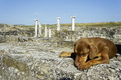 Dog sleeping in archaeological site Stobi, R.Macedonia Royalty Free Stock Image