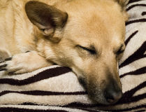 Dog is sleeping on the background of striped carpet Stock Photo