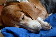 Dog sleeping Stock Photo