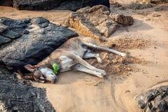Dog sleeping on the beach Stock Photo