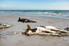Dog Sleeping On The Beach in hot day, summer time Stock Photo