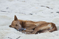Dog sleeping at the beach of the Koh Ngai island Thailand Royalty Free Stock Photos
