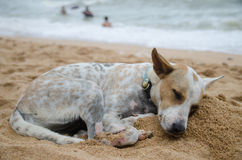 Dog sleeping on the beach , Pattaya , Thailand Stock Photo