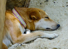 Dog sleeping on the beach. A dog sleeping on the beach at sunny day in summer Royalty Free Stock Image