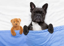 Dog sleeping  in bed Stock Photos
