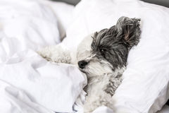 Dog sleeping in bed Royalty Free Stock Image