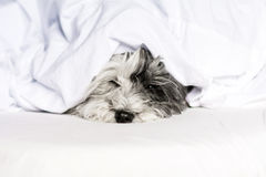Dog sleeping in bed Stock Image